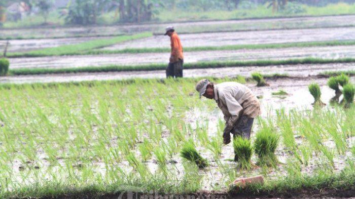 Belasan Ribu Hektare Padi di Banten Kekeringan