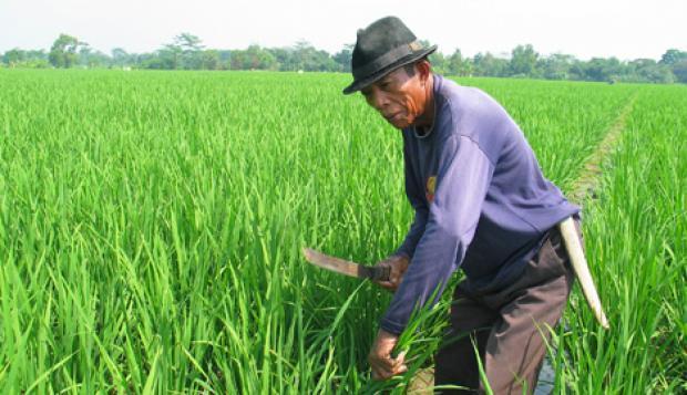 Sosialisasi Asuransi Pertanian Hendaknya Ditingkatkan